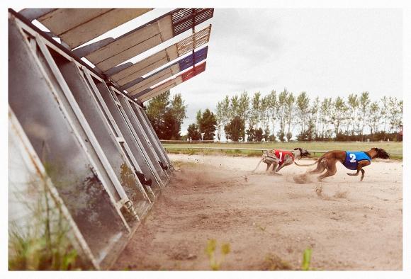 Greyhound_10