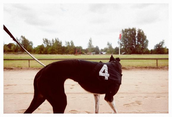 Greyhound_7